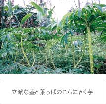 立派な茎と葉っぱのこんにゃく芋